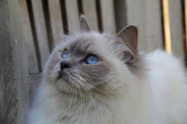 Ragdolls katter